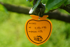 단감나무체험 - 이름표달기